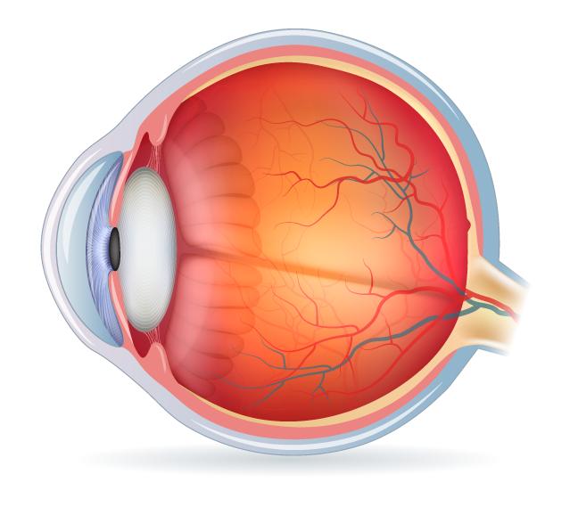 anatomia-del-ojo